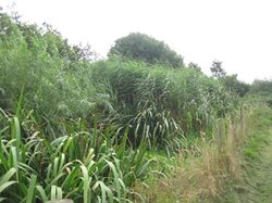 Reed Bed 2014