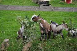 Goats helping to get rid of brambles